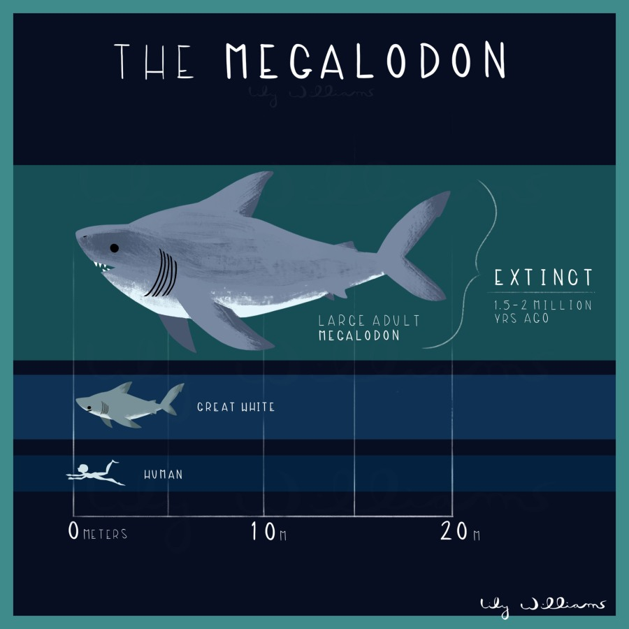 Megalodon_3adult_lilywilliams